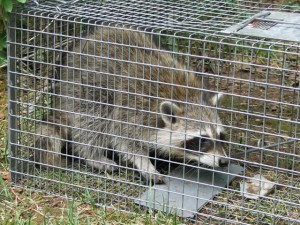 Humane raccoon removal